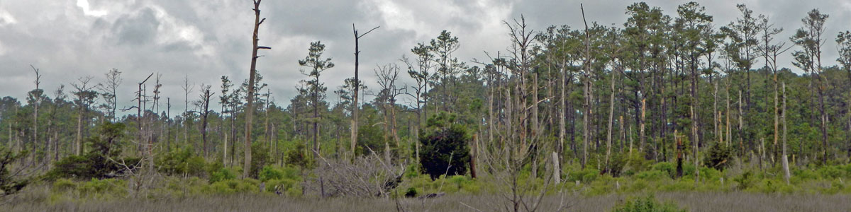 North Carolina coastal tree mortality associated with 2011 Hurricane Irene Dare County, NC ForWarn EFETAC