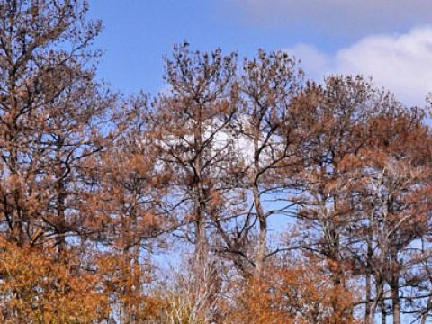 Dead pines from drought in Houston; Photo credit: Ron Billings, Texas Forest Service
